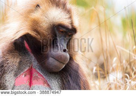 Detail Portrait Of Alpha Male Of Endemic Animal Monkey Gelada Baboon. Theropithecus Gelada, Debre Li