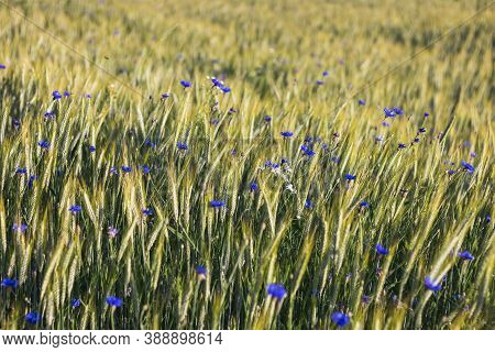 Blue Cornflower Flowers In A Grain Field - Close Up View Of Ears Of Corn Triticale And Blue Cornflow