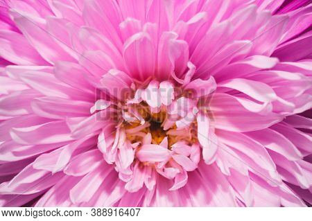 Chrysanthemum Flower With Pink Petals