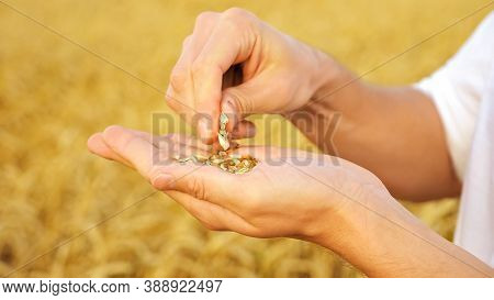 Mans Hands Peel Wheat From Husks In A Field Close-up.