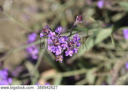 Slender Vervain Flower - Latin Name - Verbena Rigida (verbena Venosa)