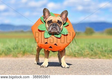 French Bulldog Dog Dressed Up With Funny Pumpkin Halloween Costume Standing In Front Of Blurry Field