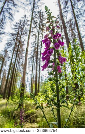 Wild Common Foxglove (digitalis Purpurea) Growing In German Forest. Captured On A Sunny Day Against