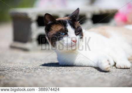 Siamese Ragdoll Crossbreed Cat Resting In The Sun On A Terrace