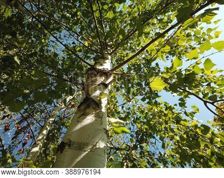 Birch Tree From Below View. Upward View At Canopy