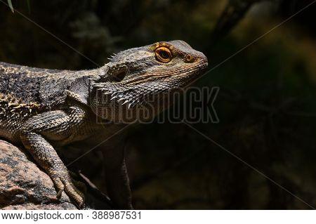 Close Up Profile Portrait Of Australian Central (or Inland) Bearded Dragon (pogona Vitticeps), Agami