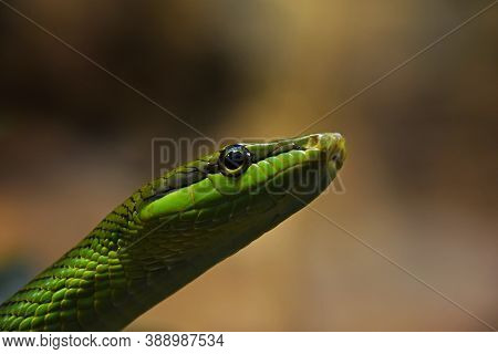 Close Up Gonyosoma Oxycephalum, Known Commonly As The Arboreal Ratsnake, The Red Tailed Green Ratsna