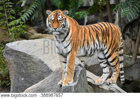 Close Up Full Length Portrait Of One Young Siberian Tiger (amur Tiger, Panthera Tigris Altaica) Stan