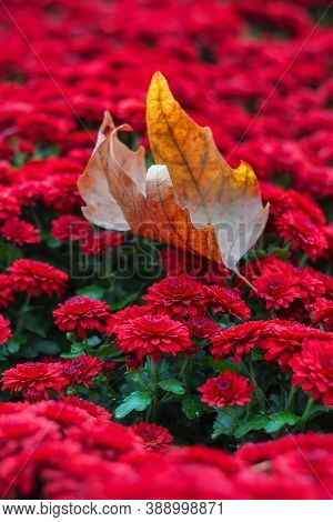 The Autumn Leaf Lies On The Red Chrysanthemums. Beautiful Bright Chrysanthemums Bloom In Autumn In T