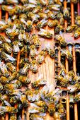 Working bee on honeycomb(shallow depth of field) poster