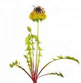 bee on yellow bright dandelion on white background poster