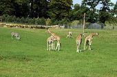Giraffes in the zoo. Giraffes and zebra in the zoo. Nature. Wild animals. Family of Giraffes poster