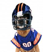 a chihuahua dressed up in a football uniform poster