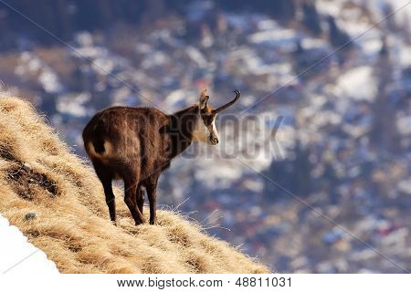 Carpathian Chamois over Busteni city