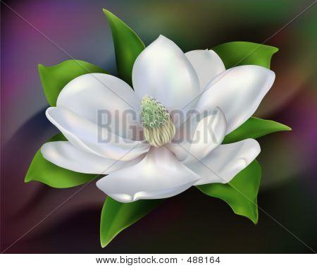 Magnolia: Details