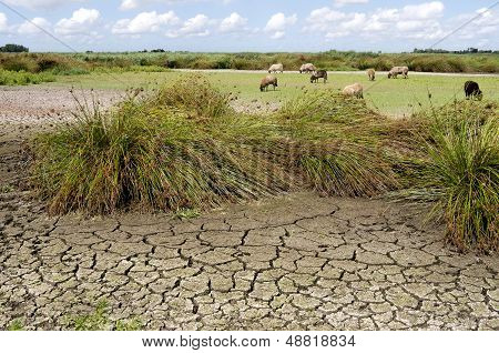Sheep Grazing On The Dry Fallen Nature Swallow.