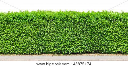 Tall Hedge Isolated