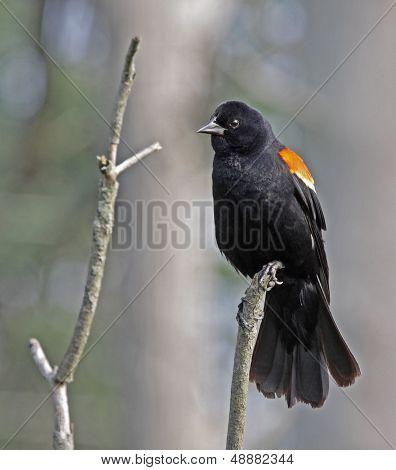 Resting Red-winged Blackbird