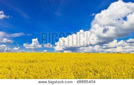 Yellow rape field blossom