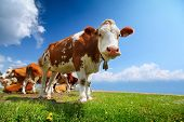 Smiling cow grazing on a green meadow at sunny day poster