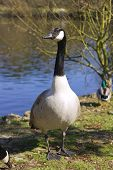 Canadian goose standing on the grass beside a lake poster