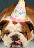 party animal - english bulldog wearing birthday party hat on blue background poster