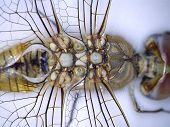 "A Very Close up view of parts of a Dragonfly taken with a Digital Microscope. Some 5680 different species of dragonflies (Odonata) are known in the world today.  Aka ""The Devils Darning Needle""  poster"