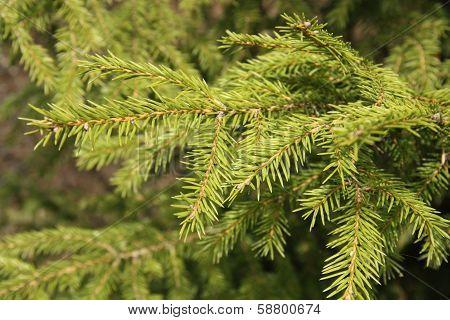 Green Fir tree