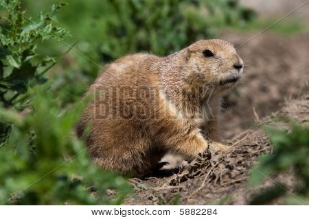 Prarie Dog Looking Out Of Shelter