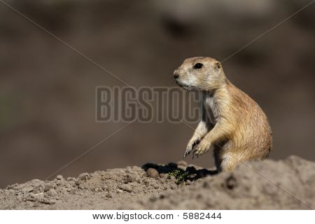 Small prairie dog standing on a rock and looking ahead poster