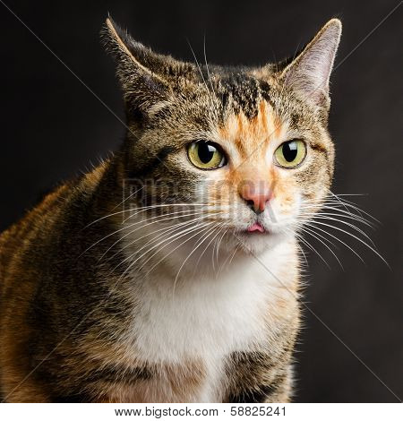 Young Torbie Kitten Cat sticking her Tongue Out