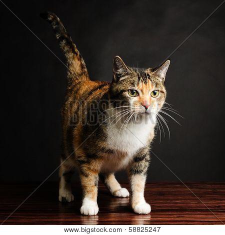 Young Torbie Kitten Cat Looking
