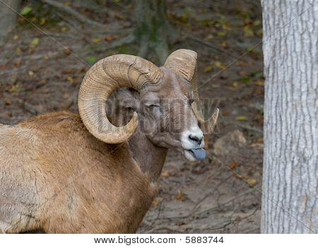 Big Horn Sheep - (ovis Canadensis)