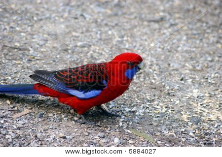 A photo of wild parrot rosella.