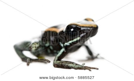 Golfodulcean Poison Frog in front of a white background