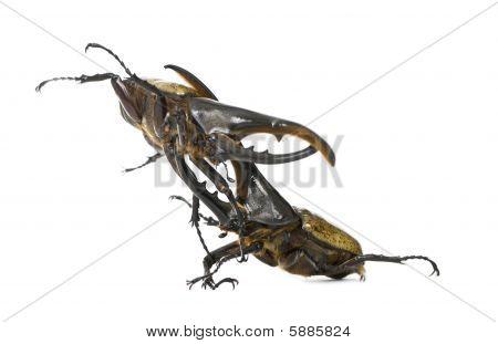 Male Adulte Hercules Beetles Fighting, Dynastes Hercules, Against White Background, Studio Shot