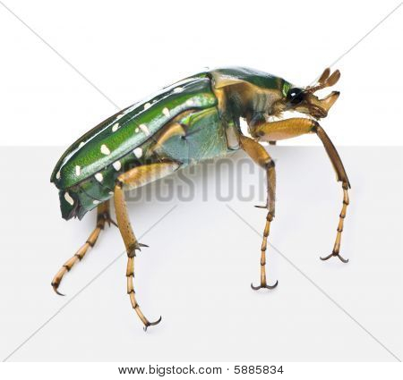 East Africa flower beetle Stephanorrhina guttata in front of white background studio shot poster