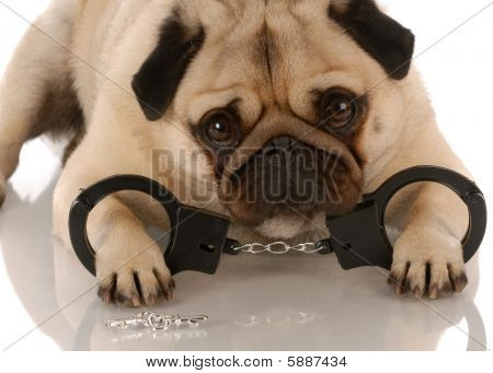 Pug With Handcuffs And Keys
