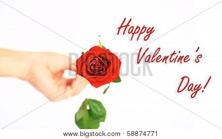 Red rose on white background.