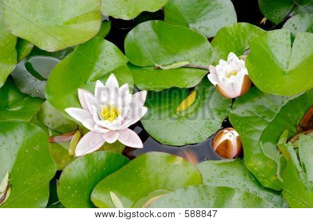 Water Lily (Nymphaea Alba)