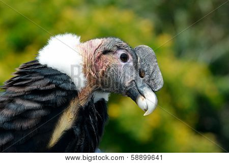 Andean Condor (Vultur gryphus) close-up portrait