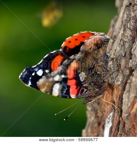 the red admiral in natural habitat (vanessa atalanta)
