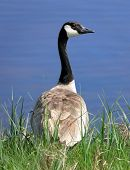 Goose standing on grass in front of a body of water. Goose is seen from behind, with head turned to the right to show profile. poster