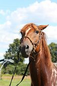 Chestnut horse being washed from the hose in summer poster