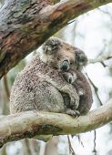 Female wild koala bear with a baby on gum tree during the rain poster