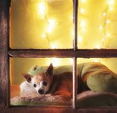a cute chihuahua looking out a dirty weathered old window poster
