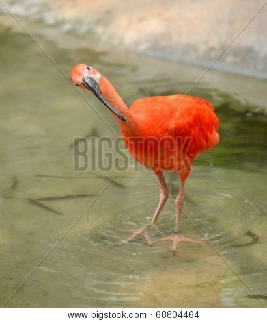 Scarlet ibis searching in the water for food