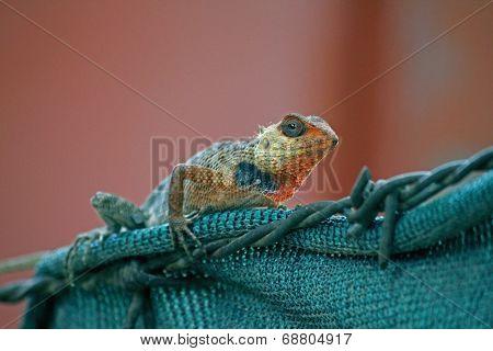 Indian Garden Lizard (calotes Versicolor)