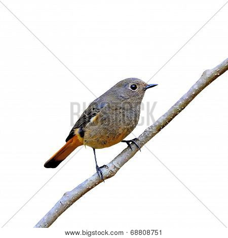 Female Blue-fronted Redstart Isolated