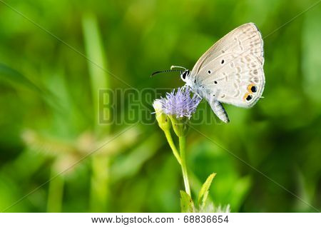 Cycad Blue Or Plains Cupid Butterfly ( Chilades Pandava)
